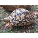 Turtle Leopard (Geochelone pardalis) 7cm