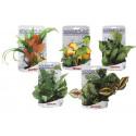 Wonder plant 15-25 cm